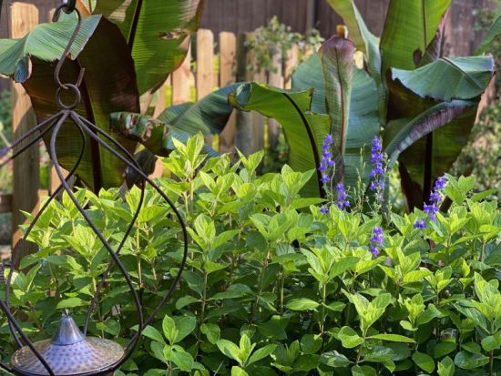 bananas and hydrangea digital garden