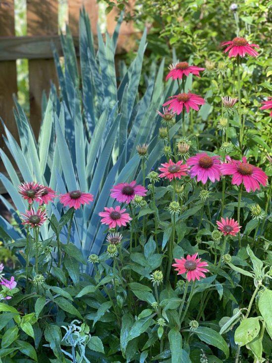 echinacea and iris domestica