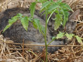 cat and tomato plant