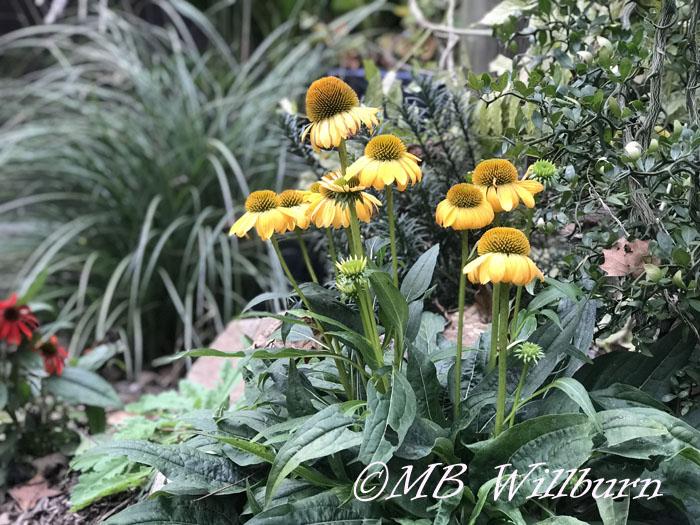 Echinacea Granada Gold