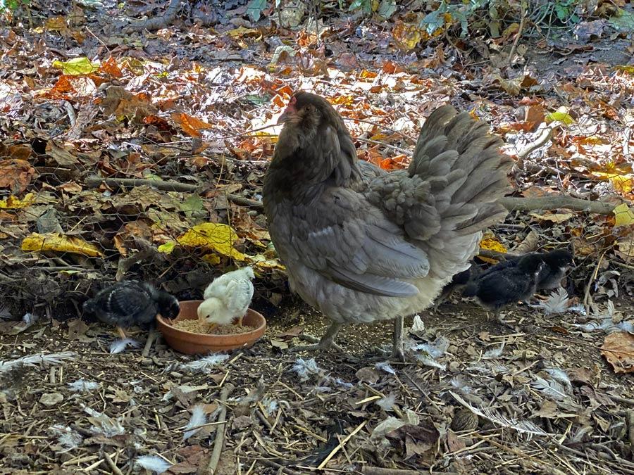 baby chicks and mama