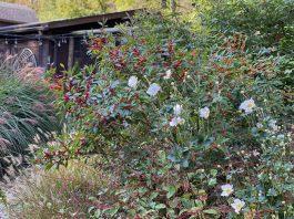 winterberries and windflower