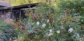 winterberries and windflower