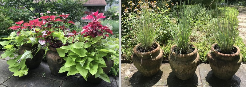 pots with iresine and sweet potato vine, then Little Bluestem