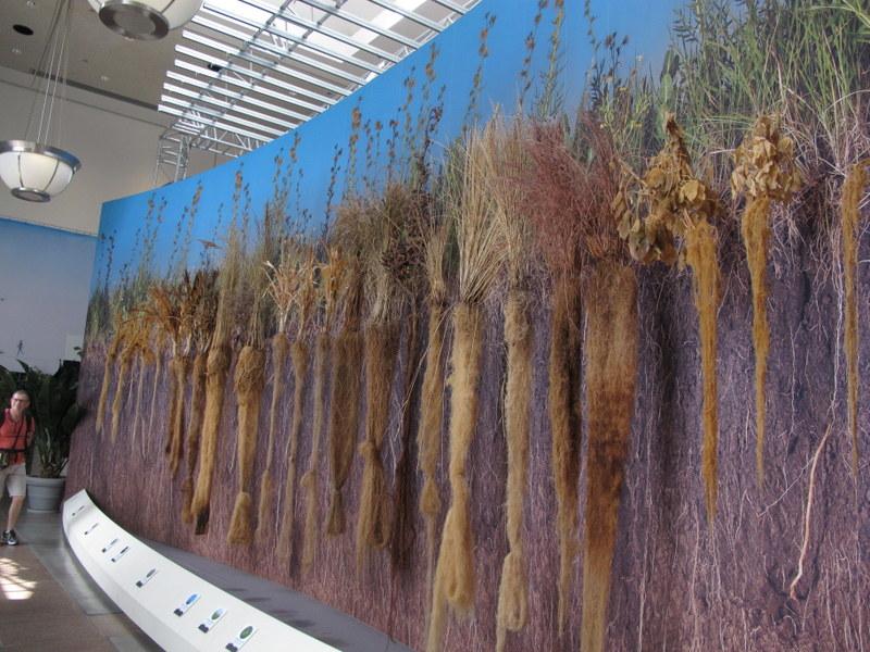 Prairie grass root display at U.S. Botanic Garden