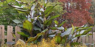 Canna and amsonia in fall
