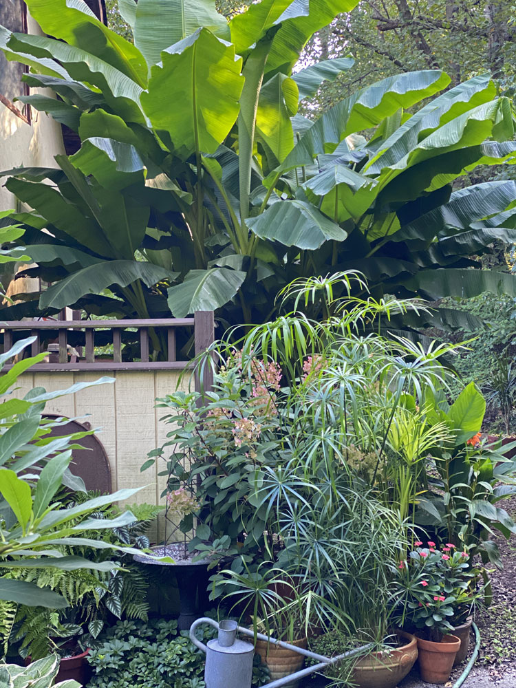 young garden with tropical container plants
