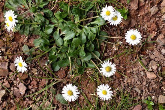 Daisy - British native
