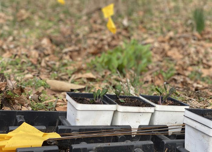 planting mertensia resolution
